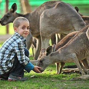free-roaming kangaroos