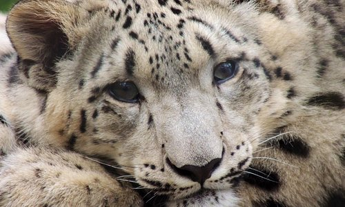 Female snow leopard, 6 months old.