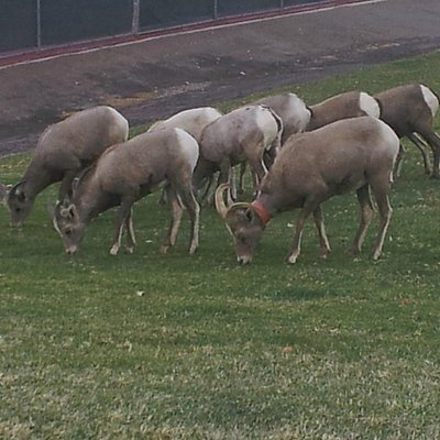 Big Horn Sheep at Hemenway Park