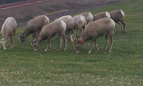 Big Horn Sheep at Hemenway Park