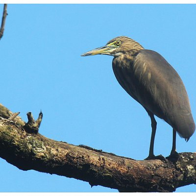 A pond Heron on the watch