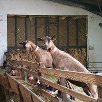 The goats of Ferme La Borie D'Imbert