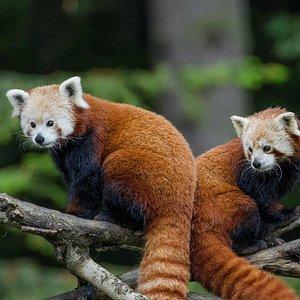 Red panda mom and cub