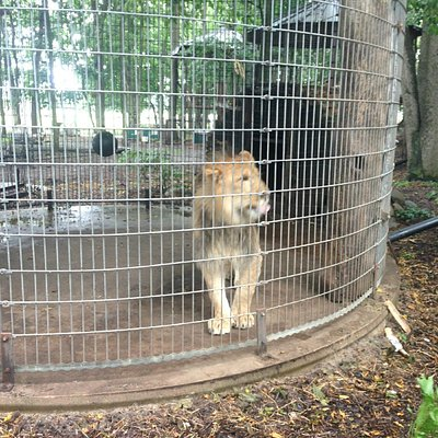 Not much space for what appears to be a young, growing lion.