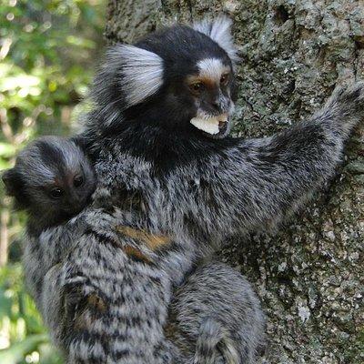 Bebê mico-estrela nas costas da mãe - Parque da Chacrinha