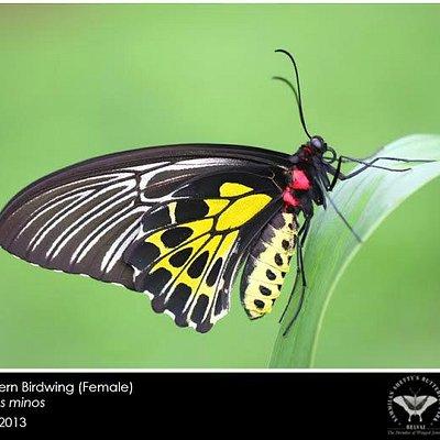 Southern Birdwing (Troides minos)