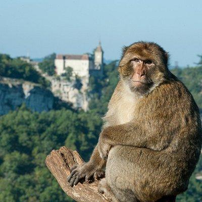 Macaque de barbarie avec vue sur Château de Rocamadour
