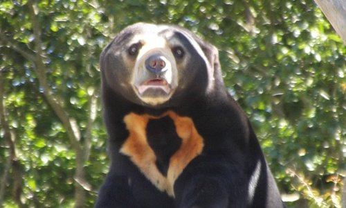 Beautiful Sunbears