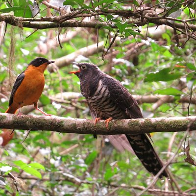Chorister Robin Chat feeding Red Chested Cuckoo baby