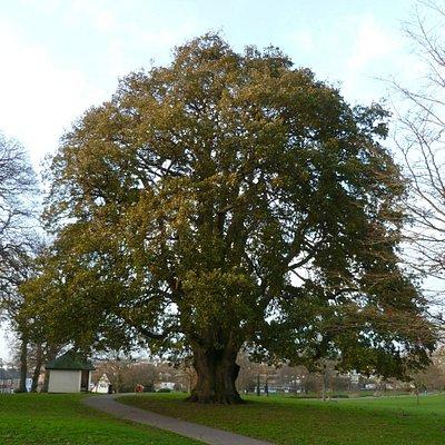 Phear Park - 'Lucombe' Oak - January 2014