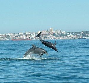 Bottlenose dolphins in Cascais