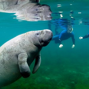 Swim and Snorkeling with the Manatees www.fun2dive.com