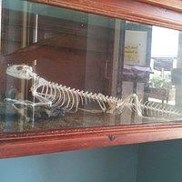 iguana skeleton