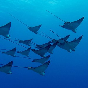 Eagle Rays on the wreck of the Mahi