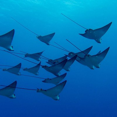 Eagle Rays on the wreck of the Mahi