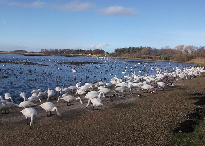 Feeding time for swans