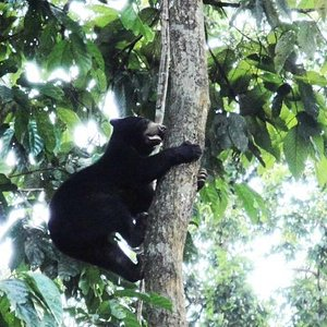 Sun bear climbing tree in forest enclosure