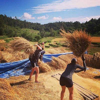 Working in the rice fields, thrashing rice