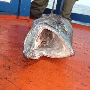 Sharp teeth! Spanish Maketel 9.5 kg
