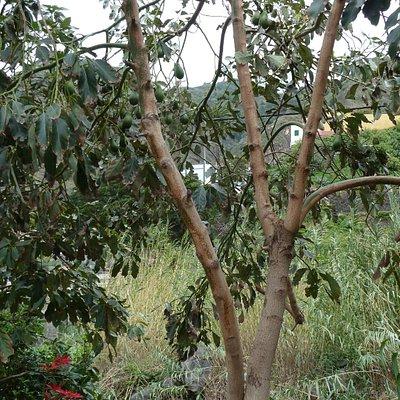 Avocado tree