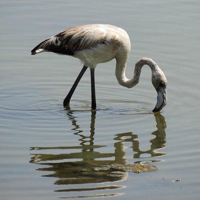 Great Flamingo (Guadalhorce)