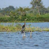 Dater bird aka snake bird