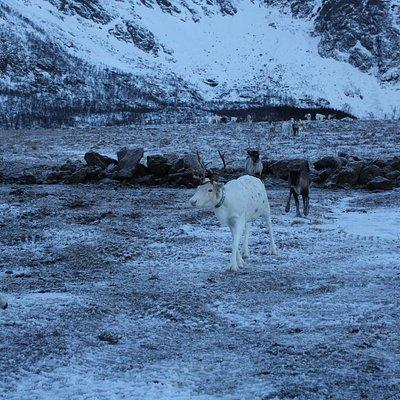 Sami Reindeers