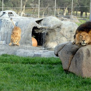 Our lions play in their habitat