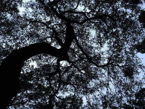 Oak canopy from the tubs