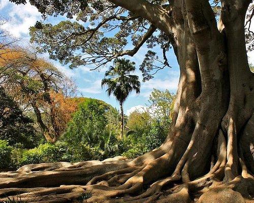 Under the vast Moreton Bay Fig tree