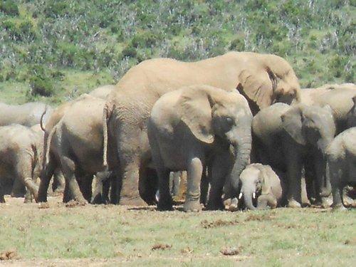 A familiar elephant scene