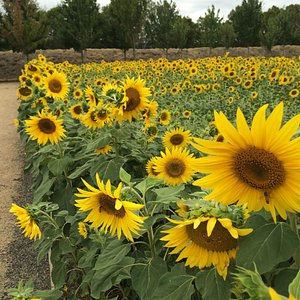 Hundreds of sunflowers