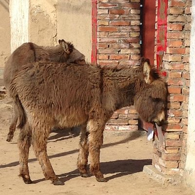 Donkeys in the village