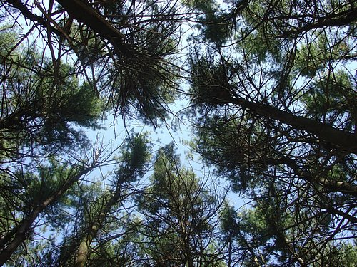 Looking towards the sky in the pine forest!