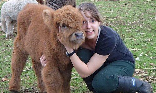 Cute Scottish Highland Calf at Denmark Animal Farm!