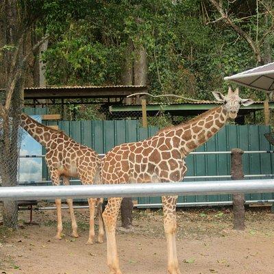 Girafy