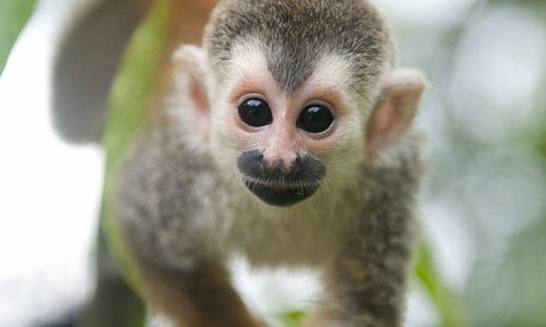 Charlotte the Titi Monkey