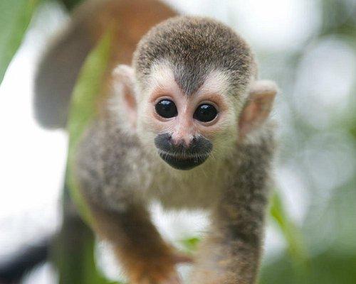 Charlotte the Titi Monkey