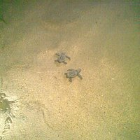 Happy hatchlings enroute to the sea