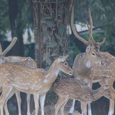 Deer at Sayaji Baug