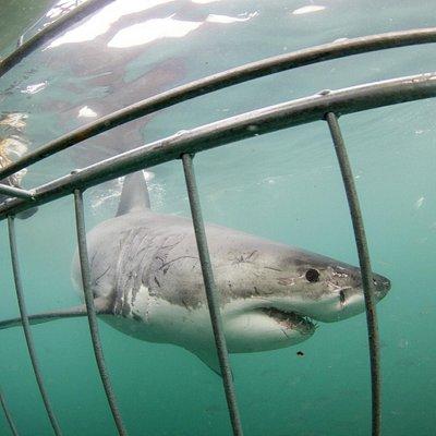 gansbaai cage diving