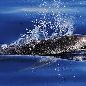 Golfinho pintado do Atlântico