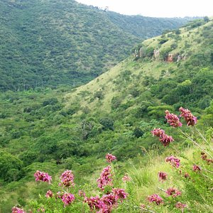 Pink plumes (Syncolostemon densiflorus) high above the Umgeni River on the Black Eagle Trail.