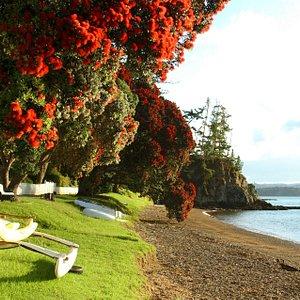 Pohutukawa trees in bloom Russell Beach