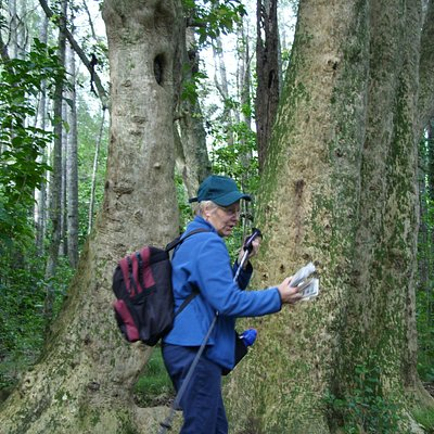 part of a massive five-trunked puriri in Smiths Bush