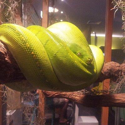 stunning green tree python