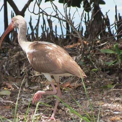 I think this is a type of Ibis.