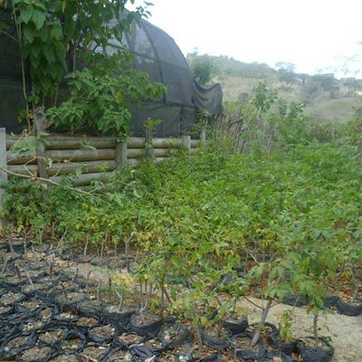 More palo santo trees growing