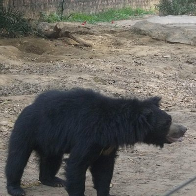 Dancing Bear rescued and protected by the Team.