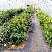 The show tunnel with over 100 chilli plant varieties